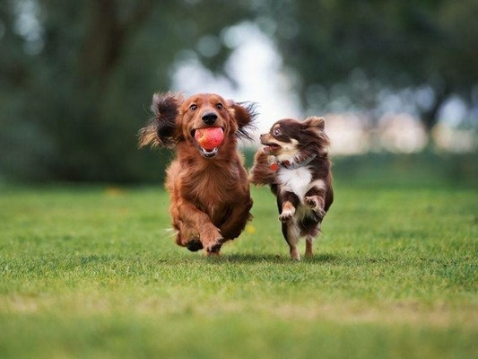 Image of two small dogs running playing with a ball