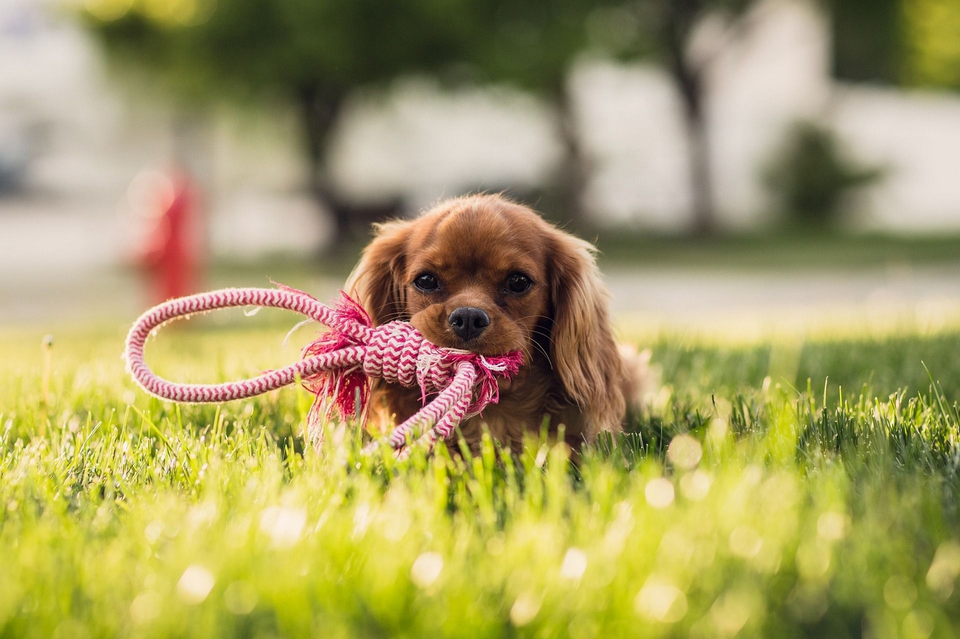 Outdoor image of a small image chewing on a dog toy