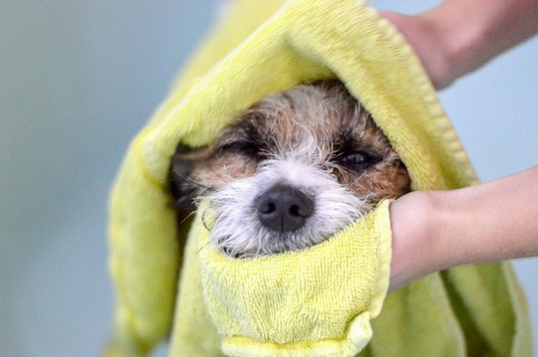 Image of small dog being dried off with a towel
