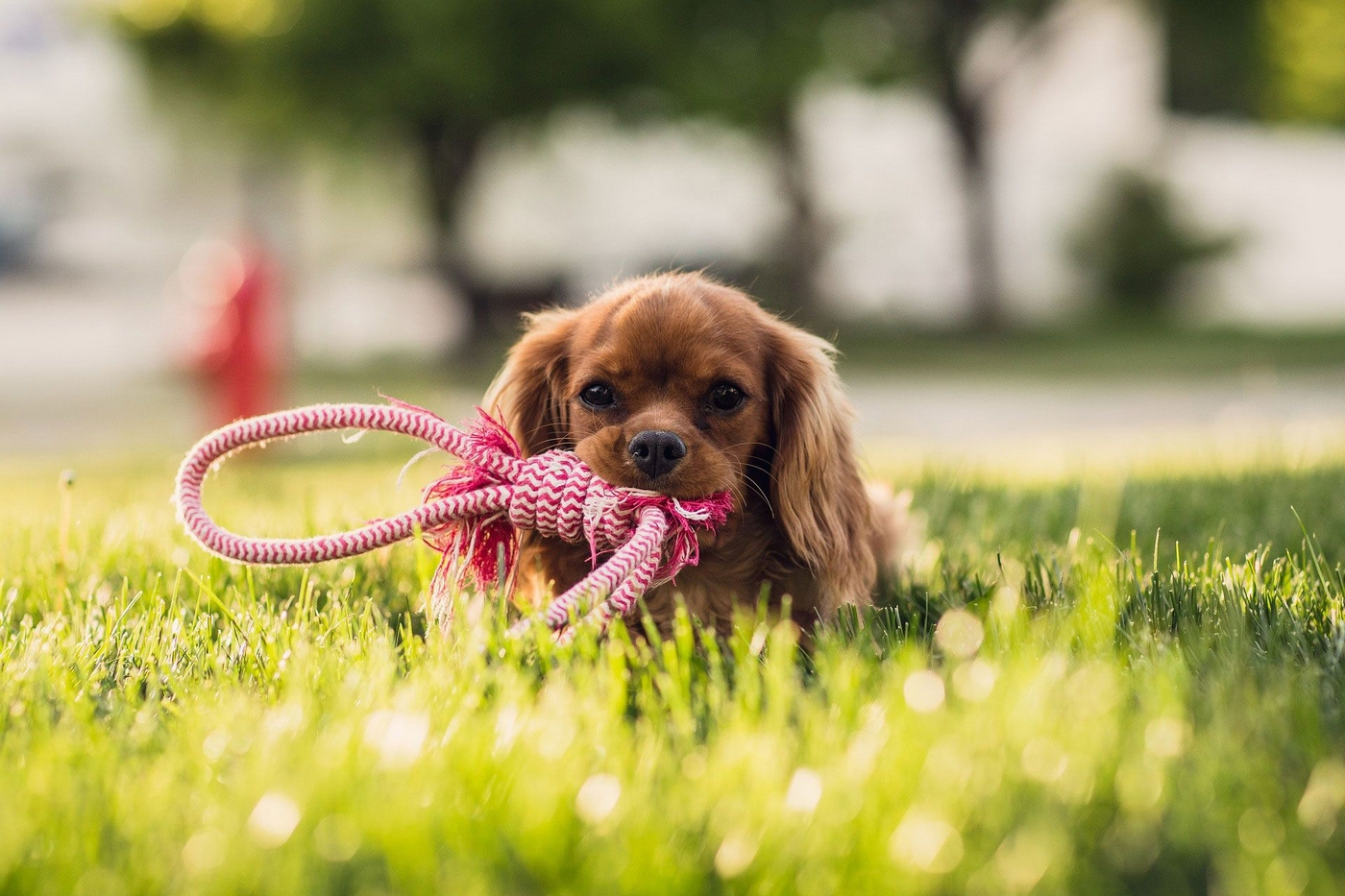 Image of a small dog chewing on a dog toy