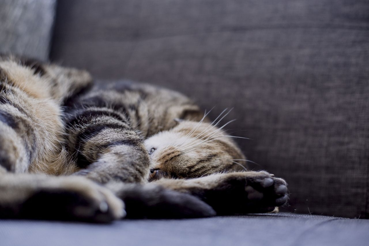 Image of a cat sleeping on a couch